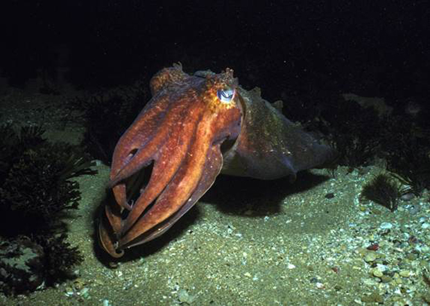 Image 4 for Bells Beach: what lies beneath? Countless uniquely beautiful marine creatures actually