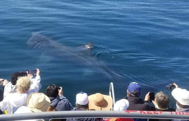 Image 1 for Like the 'Loch Ness Monster': Basking sharks return to California waters