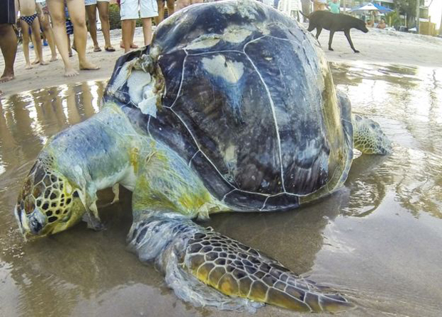Image 2 for New study on sea turtles and plastic . . .