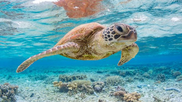 Image 3 for New study on sea turtles and plastic . . .