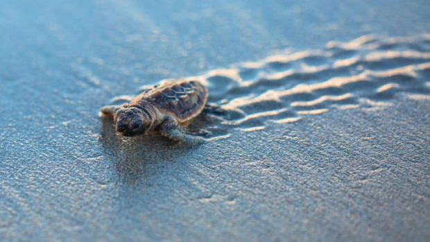 Image 4 for New study on sea turtles and plastic . . .