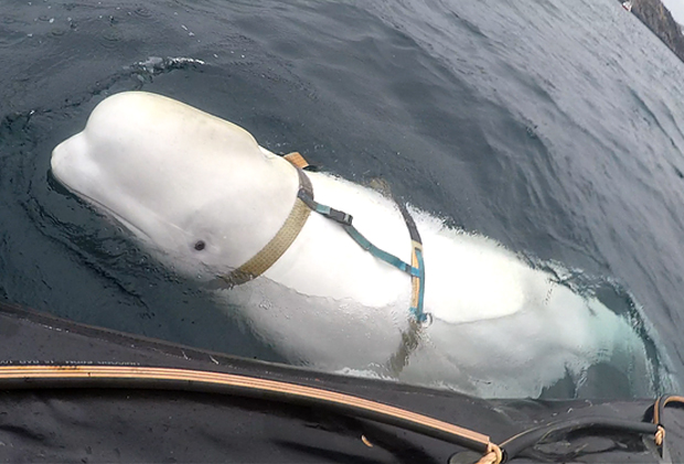 Image 1 for Escaped Russian spy whale plays rugby – get the news, watch the vid