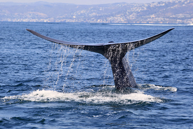 Image 2 for Dana Point becomes the first Whale Heritage Site in the U.S.