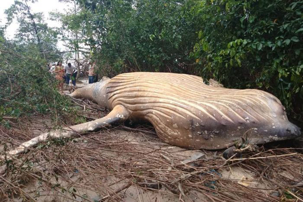 Image 1 for Amazing walking whale of the Amazon?