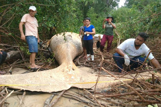 Image 2 for Amazing walking whale of the Amazon?