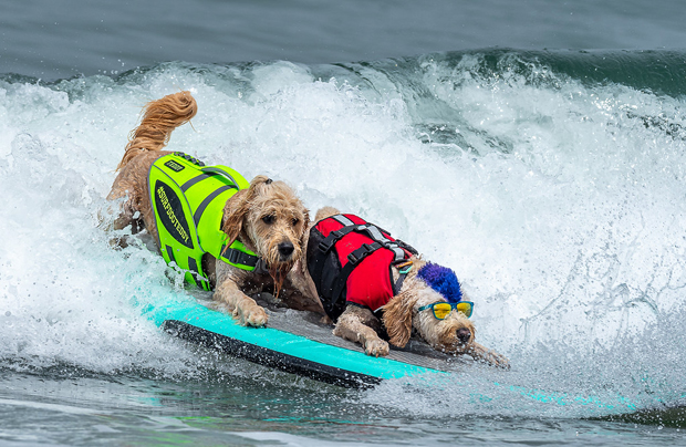 """Image 1 for The virtual """"World Dog Surfing Championships"""" – online for the first time"""