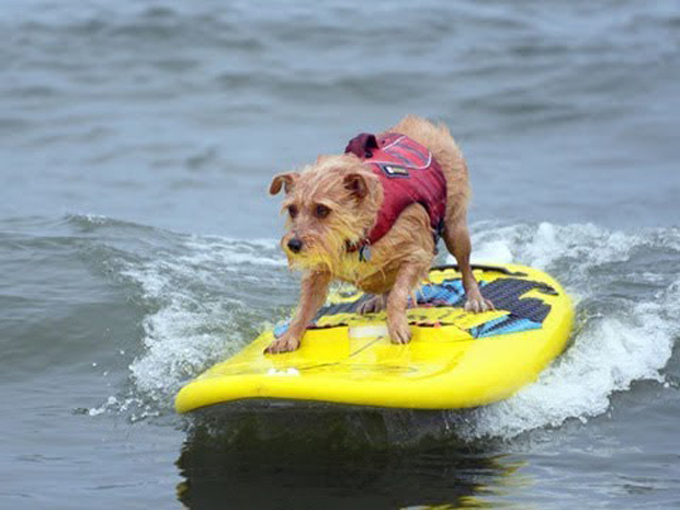 """Image 2 for The virtual """"World Dog Surfing Championships"""" – online for the first time"""