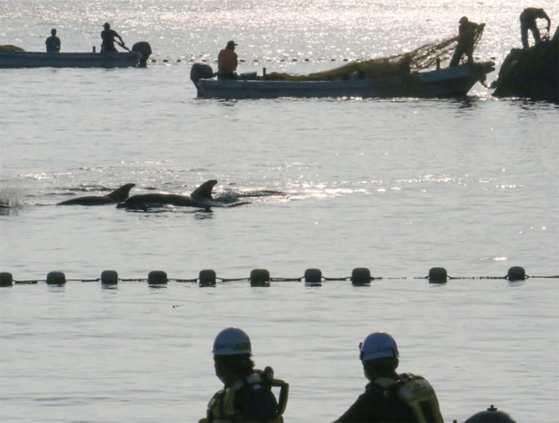 Image 1 for Japan's controversial annual dolphin hunt begins