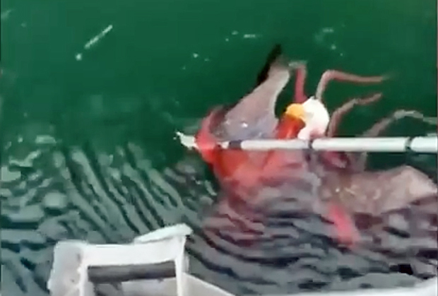 Image 1 for Red octopus versus bald eagle