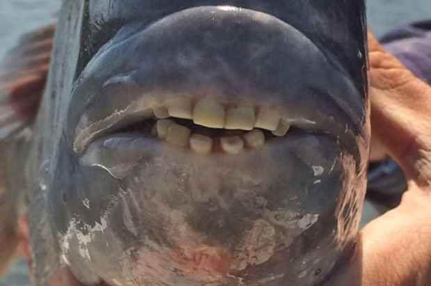 Image 1 for Fish with human-like teeth freaks out the internet