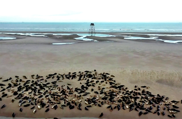 Image 1 for A good news story! Seals stage a comeback on France's northern coast