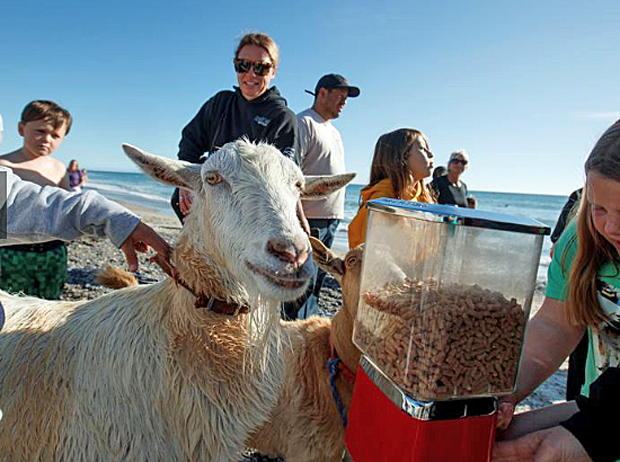 Image 4 for Pismo the surfing goat