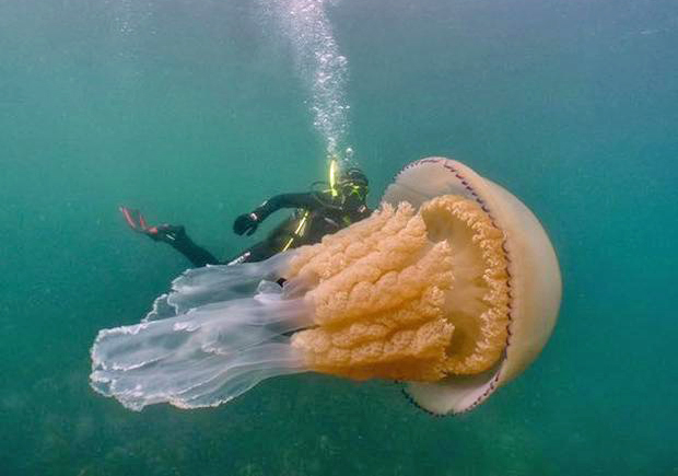 Image 1 for Human-sized giant jellyfish