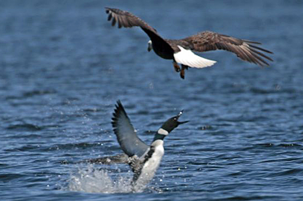 Image 1 for Canada v US: Loon stabs eagle through heart