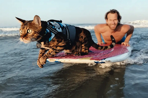 Image 1 for Maverick the Surfing Cat with a cause