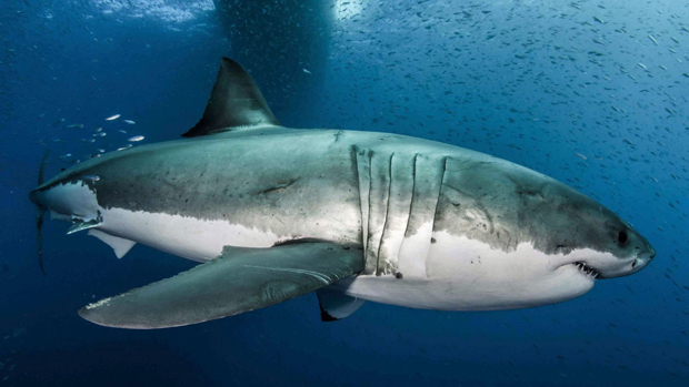 Image 2 for Half a million sharks could be killed for Coronavirus vaccine