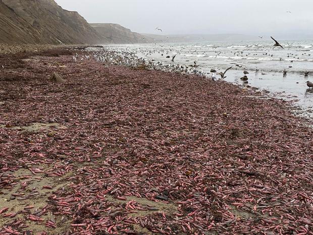 Image 2 for Penis fish invade California
