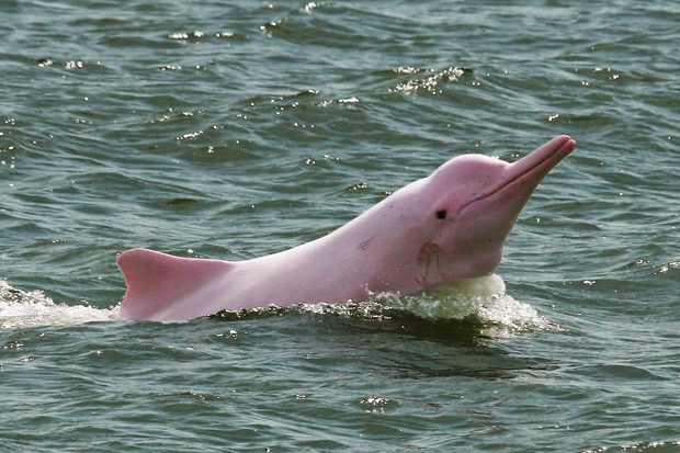 Image 1 for The Amazon's pink dolphins giving lives back