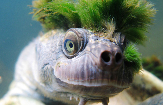 Image 1 for Punk turtle that breathes through its genitals is under threat
