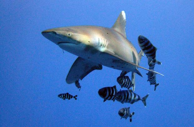 "Image 3 for ""Abnormal"" shark behaviour in the Red Sea, Egypt"