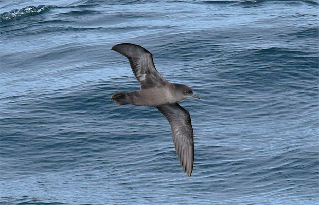 Image 1 for A good news story: Port Fairy's migratory short-tailed shearwaters rally