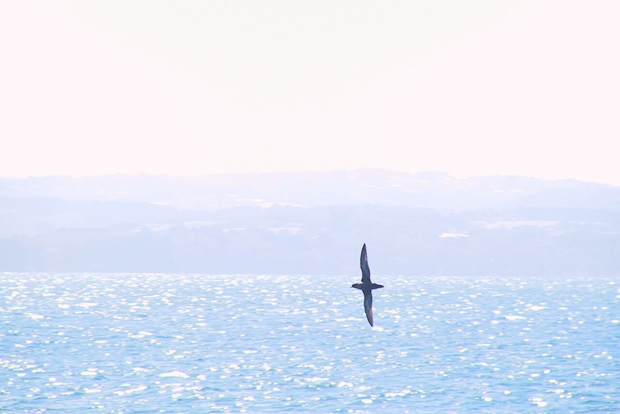 Image 3 for A good news story: Port Fairy's migratory short-tailed shearwaters rally