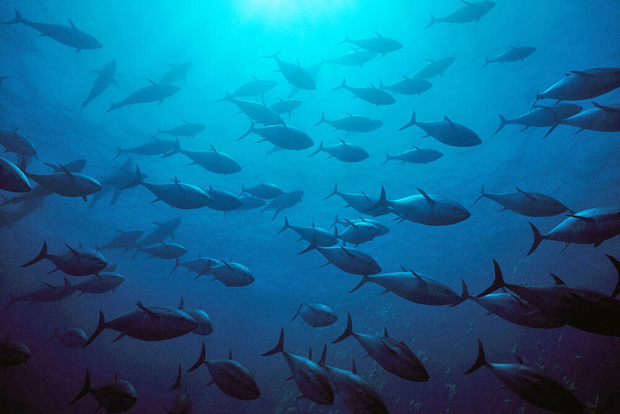 Image 1 for A good news story: these popular tuna species no longer endangered, surprising scientists