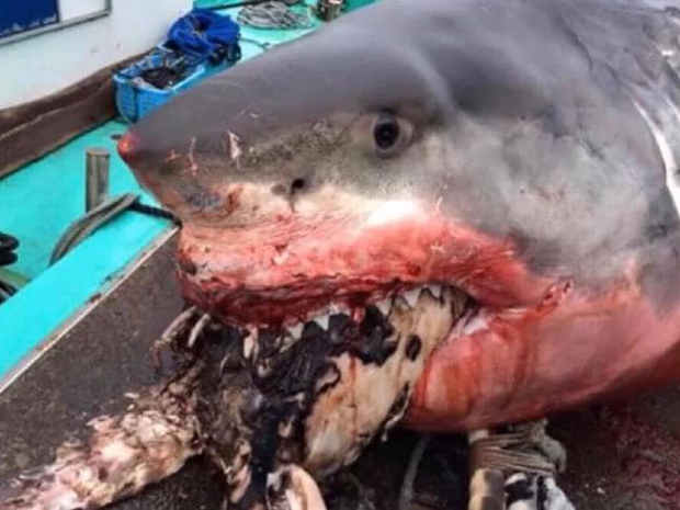 Image 2 for Whopping great white bites off more than it can chew