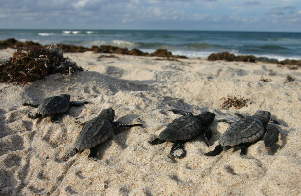 Image 1 for Sea turtles thriving after beach closures