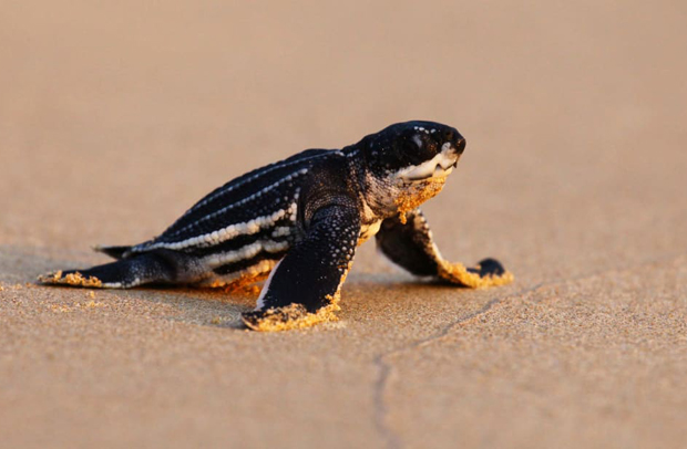 Image 2 for Sea turtles thriving after beach closures