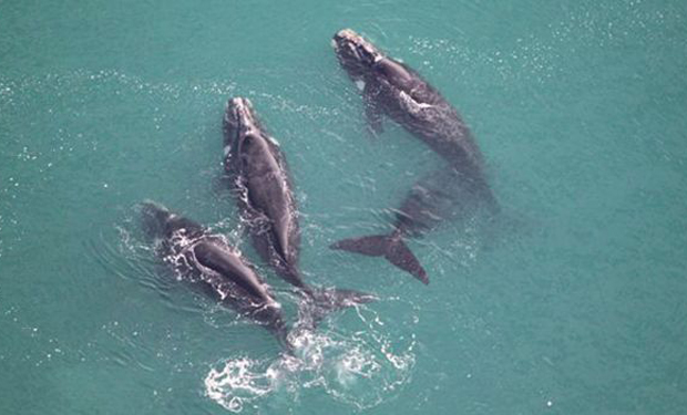Image 2 for Ocean Health: Scientists count whales from space