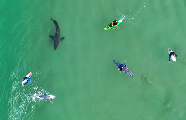 Image 1 for Great White filmed circling surfers – video and news